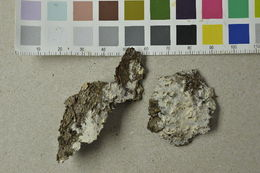 Image of Hyphoderma