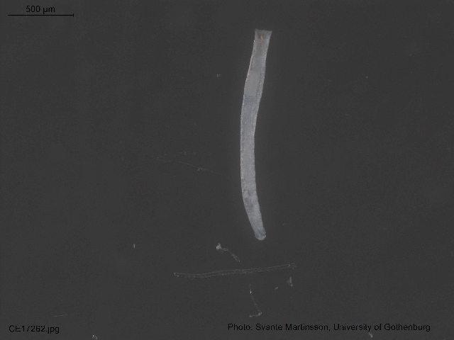 Image of Enchytraeinae