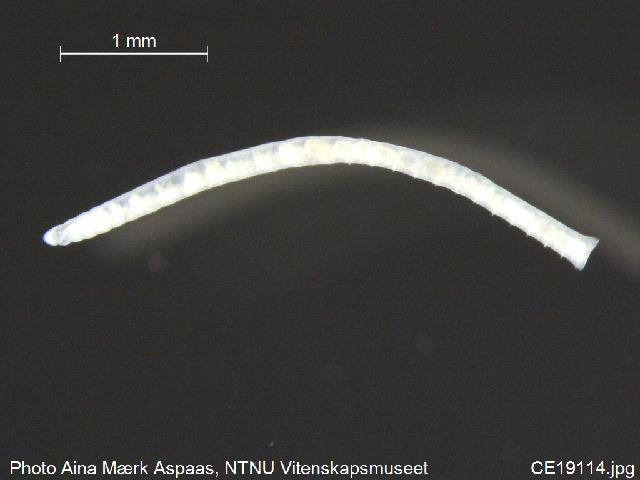 Image of Chamaedrilus