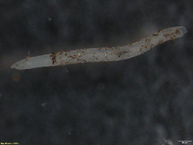 Image of Bryodrilus
