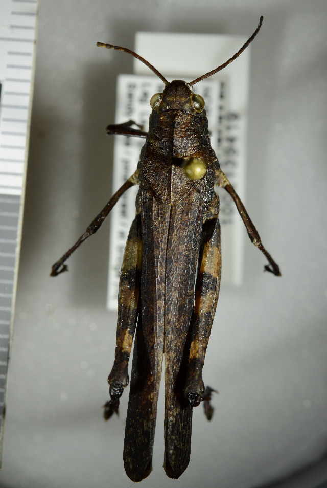 Image of Rattle grasshopper