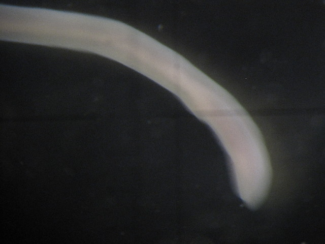 Image of <i>Hubrechtella dubia</i> Bergendal 1902