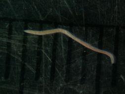 Image of <i>Tetrastemma vermiculus</i> (Quatrefages 1846)