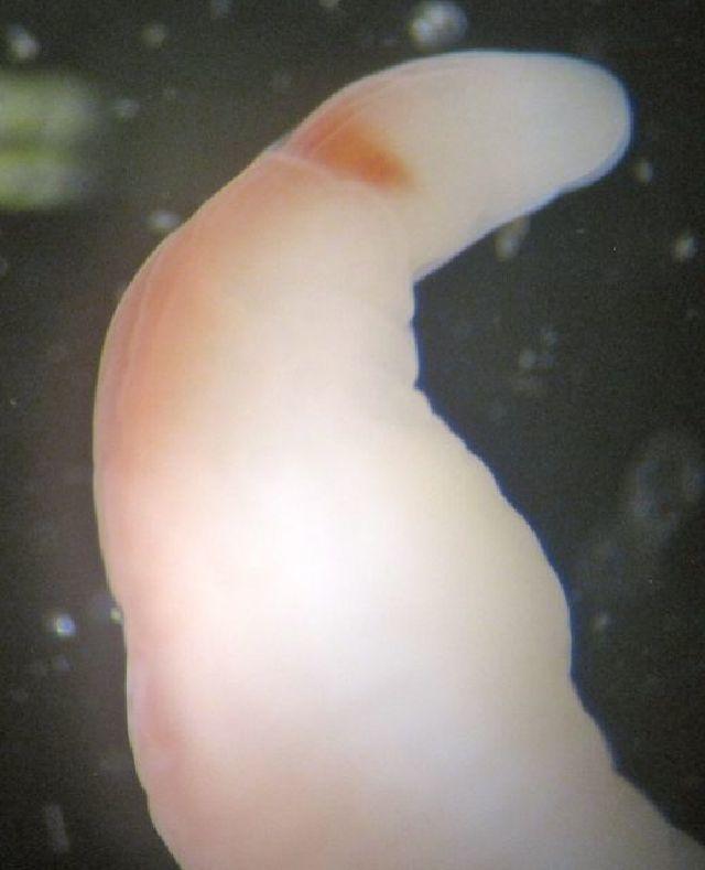 Image of <i>Tubulanus ambiguus</i>