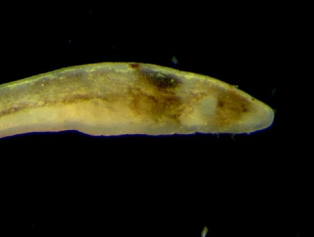 Image of <i>Oerstedia dorsalis</i> (Abildgaard 1806)