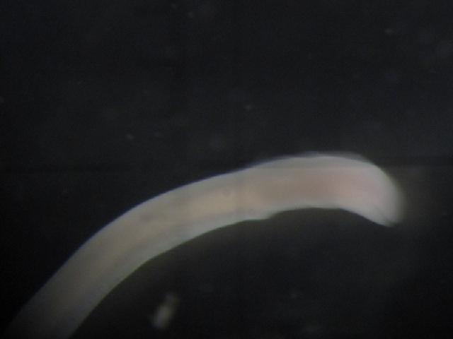 Image of <i>Tubulanus linearis</i> (Mc Intosh 1874)