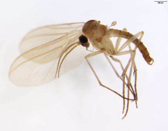 Image of Diadocidia