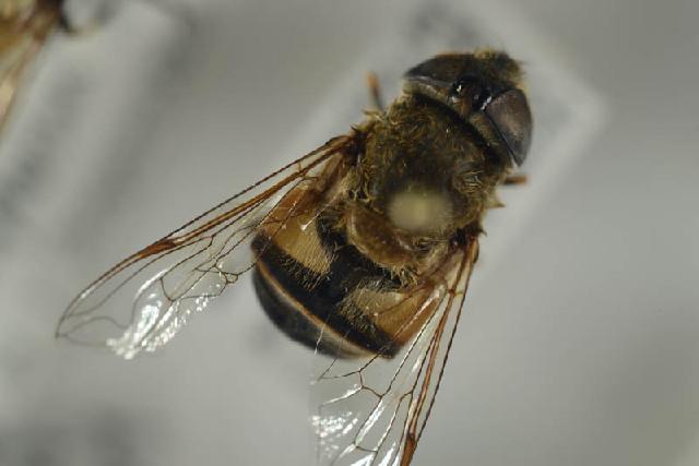 Image of <i>Eristalis similis</i>