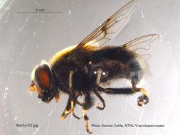 Image of <i>Eristalis intricaria</i> (Linnaeus 1758)
