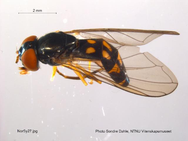 Image of <i>Melanostoma scalare</i> (Fabricius 1794)