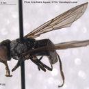 Image of <i>Cheilosia semifasciata</i> (Becker 1894)