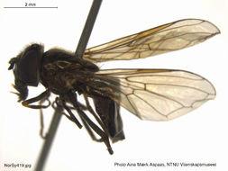Image of <i>Melanostoma dubium</i> (Zetterstedt 1838)