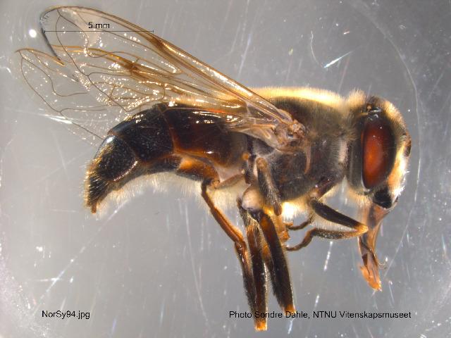 Image of <i>Eristalis tenax</i> (Linnaeus 1758)