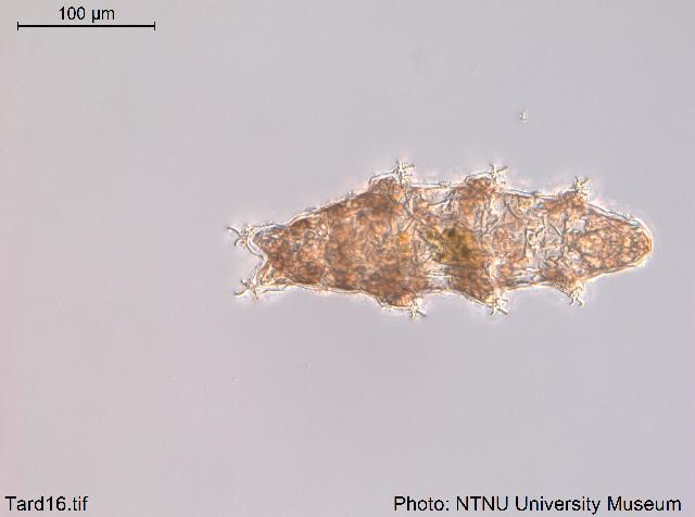 Image of Hypsibius