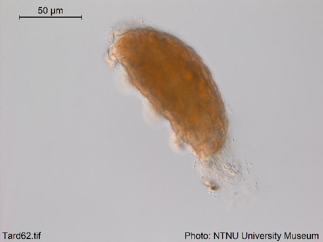 Image of Pseudechiniscus