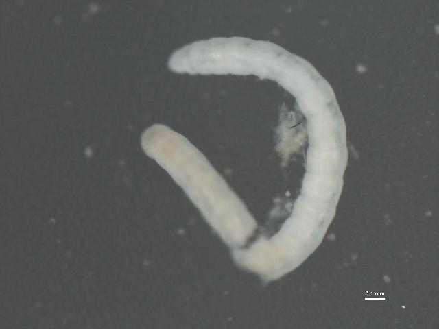 Image of <i>Lumbricillus lineatus</i> (Müller 1774)