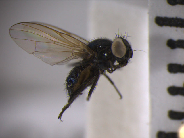 Image of <i>Lonchaea sylvatica</i> Beling 1873