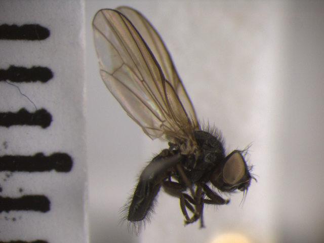 Image of <i>Earomyia lonchaeoides</i> Zetterstedt 1848