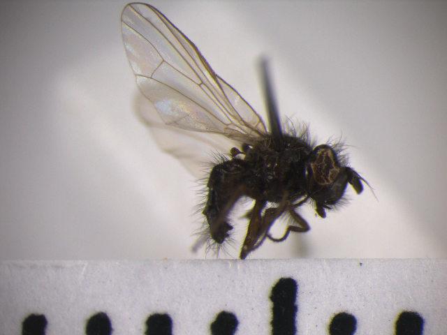 Image of <i>Lonchaea fraxina</i> Mac Gowan & Rotherary 2000