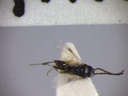 Image of <i>Aphelopus prolatus</i>