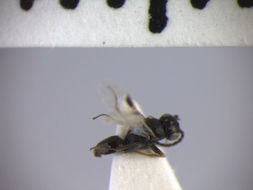 Image of <i>Aphelopus serratus</i>