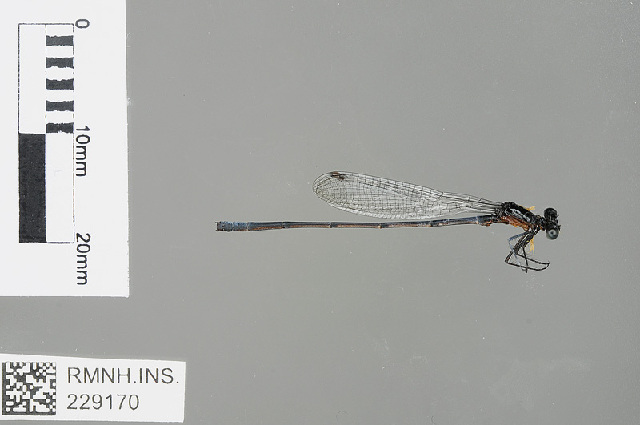 Image of <i>Elattoneura frenulata</i> (Hagen ex Selys 1860)