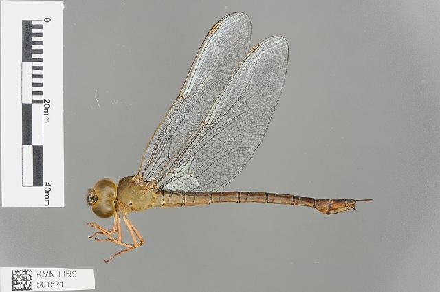 Image of <i>Gynacantha vesiculata</i> Karsch 1891