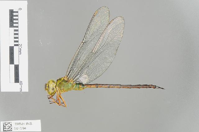 Image of <i>Gynacantha nigeriensis</i> (Gambles 1956)