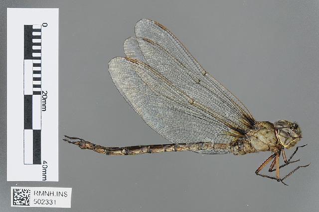 Image of <i>Gynacantha congolica</i> Dijkstra 2015