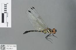 Image of <i>Malgassophlebia westfalli</i> Legrand 1986
