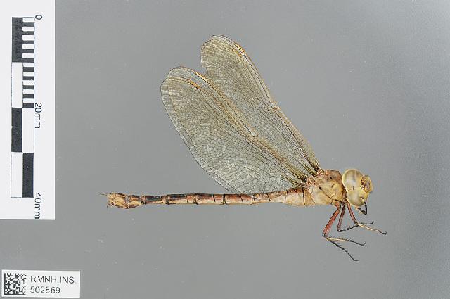 Image of <i>Gynacantha manderica</i> Grünberg 1902