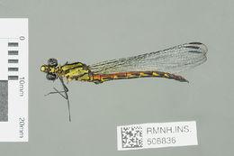 Image of <i>Chlorocypha maxima</i> Dijkstra, Kipping & Mézière 2015