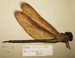 Image of <i>Gynacantha bispina</i> Rambur 1842