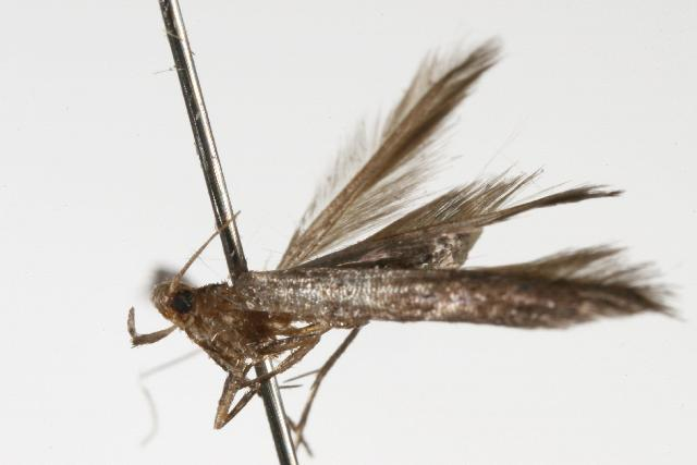 Image of <i>Batrachedra liopis</i> Meyrick 1897