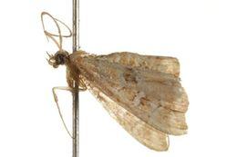 Image of <i>Musotima acrias</i> Meyrick 1884