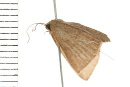 Image of <i>Cyclophora obstataria</i>