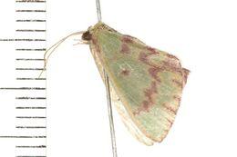 Image of <i>Prasinocyma rhodocosma</i> Meyrick 1888