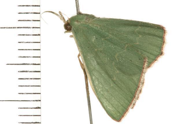 Image of <i>Prasinocyma semicrocea</i> Walker 1861