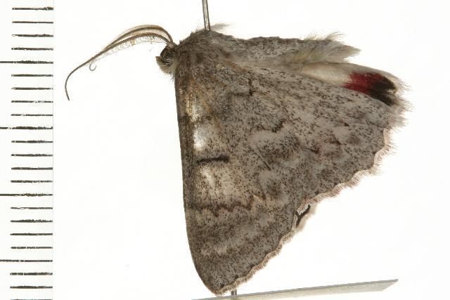Image of <i>Crypsiphona ocultaria</i> Donovan 1805