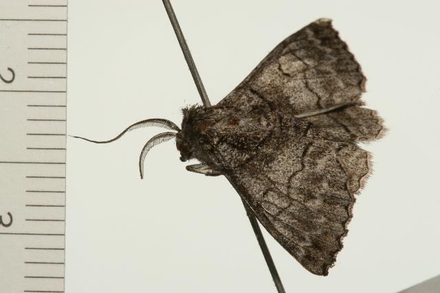 Image of <i>Hypobapta barnardi</i> Goldfinch 1929