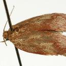 Image of <i>Oligoloba severa</i>