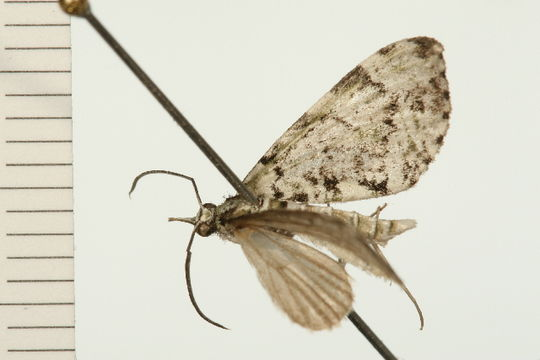 Image of <i>Sauris lichenias</i> Meyrick 1891