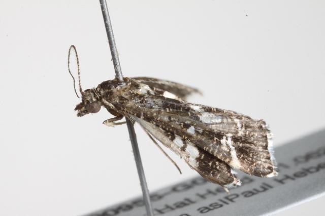 Image of <i>Diasemiopsis ramburialis</i> Duponchel 1834