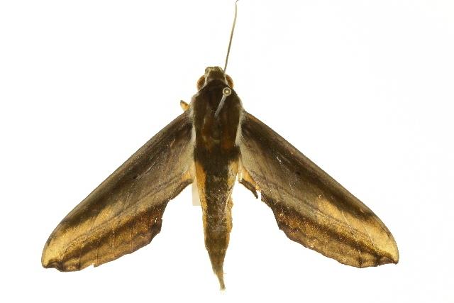 Image of Yam hawk moth