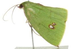 Image of <i>Oenochlora imperialis</i> Warren 1896
