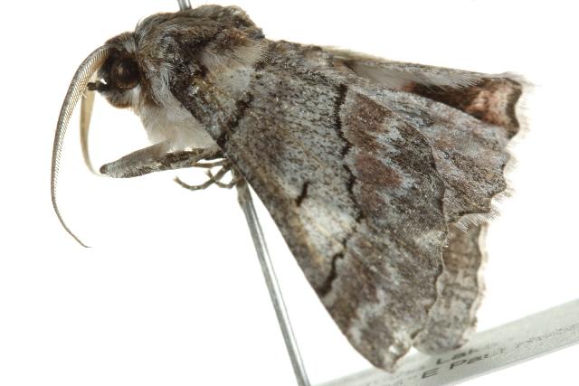 Image of <i>Hypobapta tachyhalotaria</i>