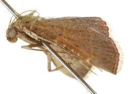 Image of <i>Endosimilis stilbealis</i> Walker 1859