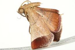 Image of <i>Curena externalis</i> Walker (1866)