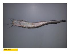 Image of Barbel-eel catfish