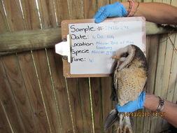 Image of Barn-Owls